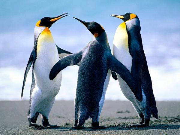 Penguin bertiga
